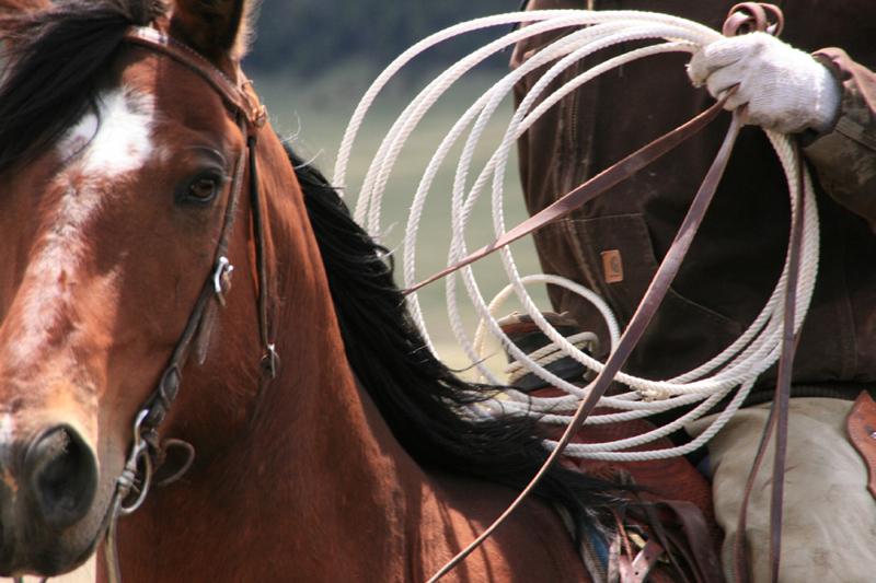 cattle_branding_montana