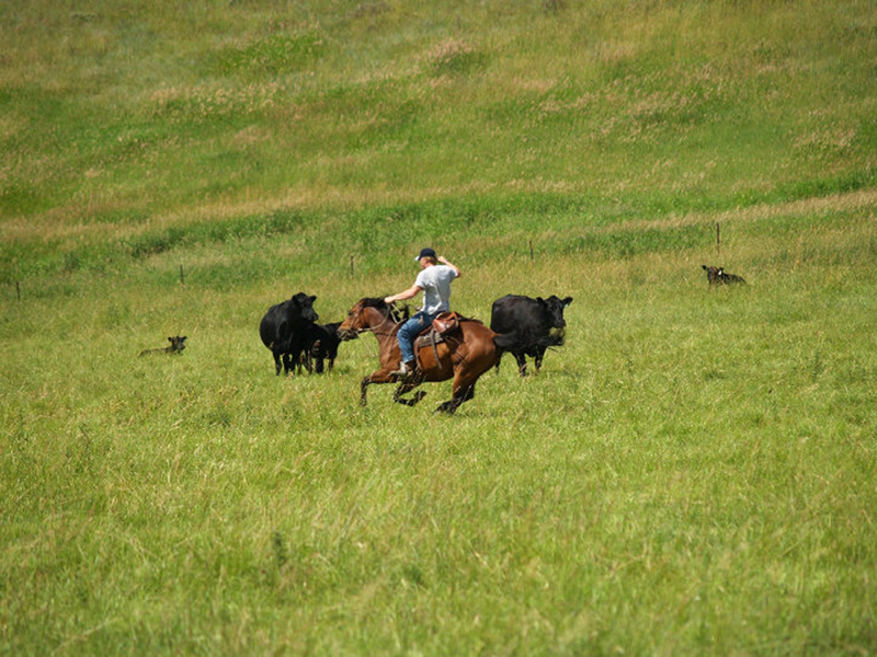 cattle_branding_ranch
