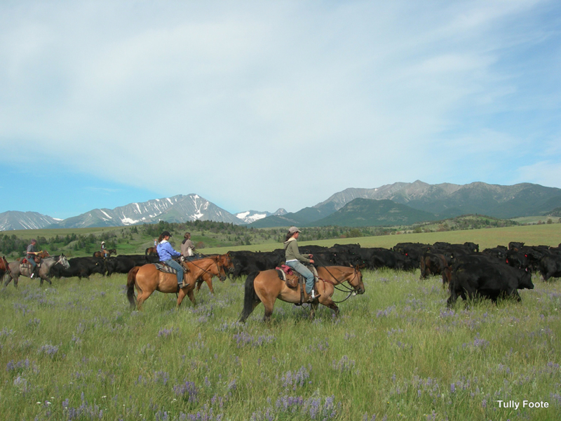 cattle_montana
