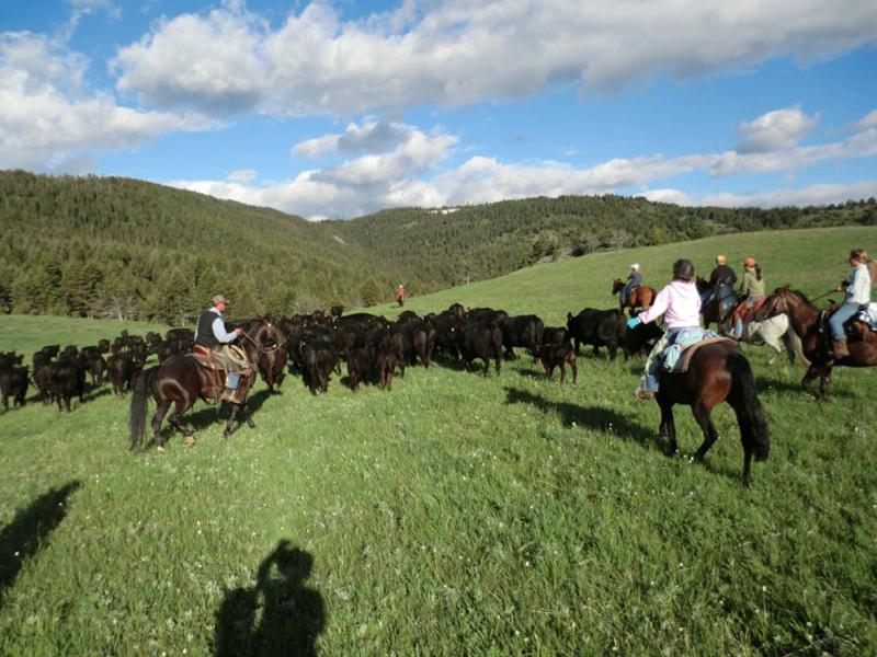Cattle grazing study