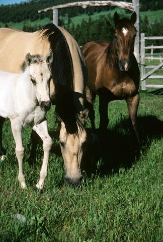 horses_montana2