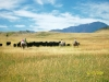 Sweet_Grass_Ranch_cattle_work