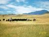Sweet_Grass_Ranch_cattle_work