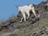 Sweet_Grass_Ranch crazy-mountain-goats