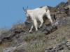 Sweet_Grass_Ranch crazy-mountain-goats
