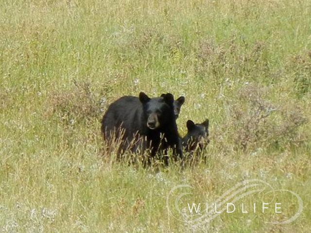 wildlife_in_montana_mainpic